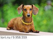 Купить «dachshund dog», фото № 9958559, снято 25 мая 2018 г. (c) PantherMedia / Фотобанк Лори