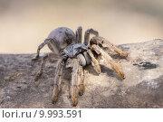 spider goldbraune augacephalus sp pavianspinne. Стоковое фото, фотограф Stephan Rech / PantherMedia / Фотобанк Лори