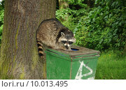 Купить «bear trash washable coon dustbin», фото № 10013495, снято 15 октября 2018 г. (c) PantherMedia / Фотобанк Лори