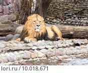 Купить «Лев в зоопарке», фото № 10018671, снято 9 марта 2015 г. (c) Сергей Лаврентьев / Фотобанк Лори