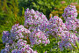 Флокс (Phlox). Группа цветущих растений, фото № 10029159, снято 14 августа 2014 г. (c) Евгений Мухортов / Фотобанк Лори