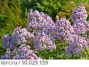 Купить «Флокс (Phlox). Группа цветущих растений», фото № 10029159, снято 14 августа 2014 г. (c) Евгений Мухортов / Фотобанк Лори