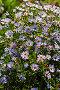 Многолетняя Астра (Aster). Обильно цветущий куст с мелкими голубыми цветами, фото № 10029523, снято 17 августа 2015 г. (c) Евгений Мухортов / Фотобанк Лори