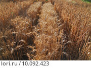 Купить «wheat and blue sky   (NIKON D80; 6.7.2007; 1/50 at f/4.5; ISO 100; white balance: Auto; focal length: 18 mm)», фото № 10092423, снято 23 мая 2019 г. (c) PantherMedia / Фотобанк Лори