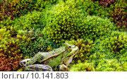 Купить «frog moss amphibians rana bryophyta», фото № 10141803, снято 15 ноября 2018 г. (c) PantherMedia / Фотобанк Лори