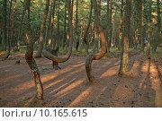 Купить «Танцующие деревья на Куршской косе», эксклюзивное фото № 10165615, снято 5 августа 2015 г. (c) Svet / Фотобанк Лори