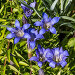 Садовая Горечавка (Gentiana), фото № 10170951, снято 17 августа 2015 г. (c) Евгений Мухортов / Фотобанк Лори