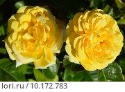 Купить «Роза чайно-гибридная Вандэ Глоб (лат. Vendee Globe), Francois Dorieux II (France, 2000), LAPERRIERE», эксклюзивное фото № 10172783, снято 11 августа 2015 г. (c) lana1501 / Фотобанк Лори