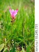Купить «wild tulip on meadows», фото № 10245731, снято 19 февраля 2019 г. (c) PantherMedia / Фотобанк Лори