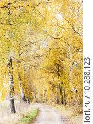 Купить «autumnal birch alley», фото № 10288123, снято 25 января 2020 г. (c) PantherMedia / Фотобанк Лори