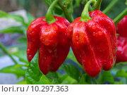 Купить «fruit chili chilli pod habanero», фото № 10297363, снято 26 марта 2019 г. (c) PantherMedia / Фотобанк Лори