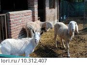 Купить «sheep in a cowshed, concept of captivity», фото № 10312407, снято 22 мая 2019 г. (c) PantherMedia / Фотобанк Лори