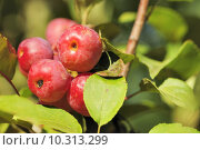 Купить «embellishment malus red sentinal rosengew», фото № 10313299, снято 22 января 2019 г. (c) PantherMedia / Фотобанк Лори