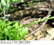 Купить «Grey grasshopper», фото № 10385699, снято 17 декабря 2018 г. (c) PantherMedia / Фотобанк Лори