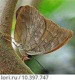 Купить «caribbean butterfly swallowtail blaugestreifter schwalbenschwanz», фото № 10397747, снято 23 января 2019 г. (c) PantherMedia / Фотобанк Лори