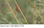 Купить «Два Жука (Мягкотелка  рыжая)», видеоролик № 10433715, снято 19 августа 2015 г. (c) Звездочка ясная / Фотобанк Лори