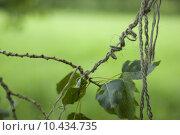 Купить «Linden leaves tangled up in string», фото № 10434735, снято 21 мая 2019 г. (c) PantherMedia / Фотобанк Лори