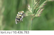 Купить «Жук- Восковик перевязанный или пестряк полосатый ( лат. Trichius fasciatus, англ.   Bee beetle)», видеоролик № 10436783, снято 20 августа 2015 г. (c) Звездочка ясная / Фотобанк Лори