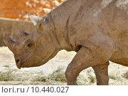 Купить «Hook-lipped Rhino», фото № 10440027, снято 27 мая 2019 г. (c) PantherMedia / Фотобанк Лори