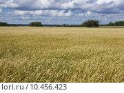 Пшеничное поле. Стоковое фото, фотограф Виктор Четошников / Фотобанк Лори