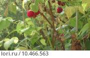 Купить «Ягода малина», видеоролик № 10466563, снято 20 августа 2015 г. (c) Звездочка ясная / Фотобанк Лори