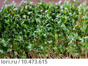 Купить «herbs substrate cress culinary garden», фото № 10473615, снято 20 июля 2019 г. (c) PantherMedia / Фотобанк Лори