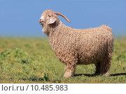 Купить «Angora goat», фото № 10485983, снято 3 июня 2020 г. (c) PantherMedia / Фотобанк Лори