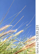 Купить «Wild grass on the blue Sky», фото № 10539231, снято 19 февраля 2019 г. (c) PantherMedia / Фотобанк Лори