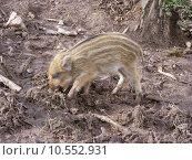 Купить «wild conservation of nature jagdwild», фото № 10552931, снято 19 февраля 2019 г. (c) PantherMedia / Фотобанк Лори