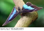 Купить «butterfly swallowtail archaeoprepona blaugestreifter schwalbenschwanz», фото № 10620691, снято 23 января 2019 г. (c) PantherMedia / Фотобанк Лори