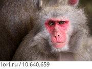 monkey bedrohte tierart japanmakake macaca. Стоковое фото, фотограф Bernhard Richter / PantherMedia / Фотобанк Лори
