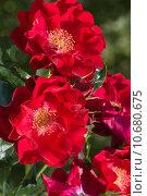 Купить «Алые, кроваво-красные полумахровые розы», фото № 10680675, снято 6 июня 2015 г. (c) Наталья Гармашева / Фотобанк Лори