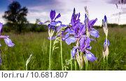 Купить «Фиолетовые ирисы на лугу вечером (Iris)», фото № 10681807, снято 31 мая 2015 г. (c) Сергей Лысенко / Фотобанк Лори