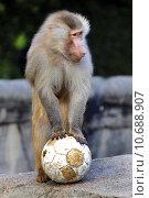 monkey primate baboon ugetier fusball. Стоковое фото, фотограф Werner Struss / PantherMedia / Фотобанк Лори
