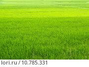 Купить «green rice paddies», фото № 10785331, снято 21 мая 2018 г. (c) PantherMedia / Фотобанк Лори
