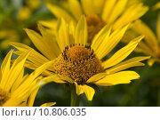 Купить «yellow montana injuries arnica medicinal», фото № 10806035, снято 26 июня 2019 г. (c) PantherMedia / Фотобанк Лори