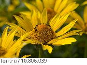 Купить «yellow montana injuries arnica medicinal», фото № 10806039, снято 26 июня 2019 г. (c) PantherMedia / Фотобанк Лори