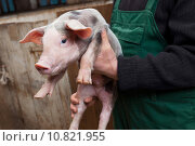 Купить «Young piglet on hands», фото № 10821955, снято 20 марта 2019 г. (c) PantherMedia / Фотобанк Лори