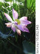 Купить «purple lotus», фото № 10852943, снято 19 февраля 2019 г. (c) PantherMedia / Фотобанк Лори