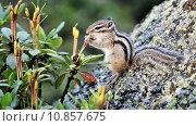 Купить «Сибирский бурундук (Tamias sibiricus) ест рододендрон», видеоролик № 10857675, снято 22 августа 2015 г. (c) Андрей Павлов / Фотобанк Лори