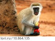 Portrait of wild hungry monkey. Стоковое фото, фотограф Anna Omelchenko / PantherMedia / Фотобанк Лори