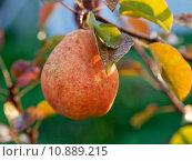 Купить «ripe yellow and red pear on tree», фото № 10889215, снято 19 августа 2019 г. (c) PantherMedia / Фотобанк Лори