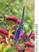 Купить «purple azure prize blauweiderich pseudolysimachion», фото № 10940543, снято 19 февраля 2019 г. (c) PantherMedia / Фотобанк Лори