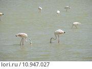 Купить «flamingos carotinoiden phoenicopteridae phoenicopteriformes pigmente», фото № 10947027, снято 25 марта 2019 г. (c) PantherMedia / Фотобанк Лори