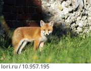 Купить «hunter fox rabies den of», фото № 10957195, снято 22 марта 2019 г. (c) PantherMedia / Фотобанк Лори