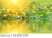 Купить «melon blooms yellow», фото № 10975379, снято 5 августа 2020 г. (c) PantherMedia / Фотобанк Лори