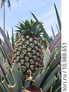 Купить «pinapple in  green field», фото № 10988651, снято 21 октября 2018 г. (c) PantherMedia / Фотобанк Лори