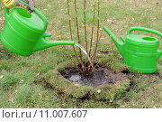 Купить «water plant cultivate pour shrub», фото № 11007607, снято 16 августа 2018 г. (c) PantherMedia / Фотобанк Лори