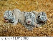 Купить «white bengal tiger cub», фото № 11013983, снято 20 января 2020 г. (c) PantherMedia / Фотобанк Лори