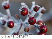 Купить «Frost Covered Berries», фото № 11017947, снято 4 апреля 2020 г. (c) PantherMedia / Фотобанк Лори